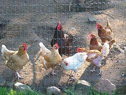 små høns