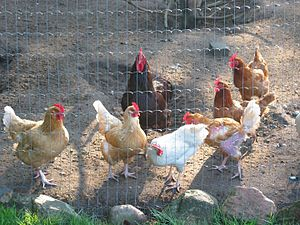 Feather pecking - Feather pecking amongst laying hens. In the lower right of the picture, the white hen has lost her tail feathers and the brown hen has been feather pecked on the thigh and wing.