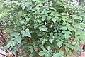 HK 上環 Sheung Wan sidewalk carpark 差館上街 Upper Station Street Water Lane Rest Garden Nandina Domestica 南天竹 Sacred Bamboo plants October 2017 IX1 01.jpg