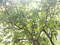 HK TKL 調景嶺 Tiu Keng Leng 彩明街 Choi Ming Street green tree leaves May 2019 SSG 02.jpg