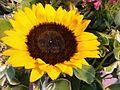 HK big yellow Sunflower Aug-2012.jpg