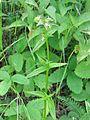 Halenia deflexa 3-eheep (5097902236).jpg