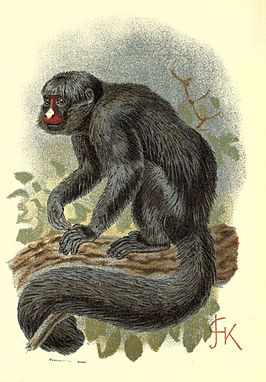 Handbook to the Primates Plate 17.jpg