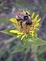 Haplopappus radiatus pollenator07-25-2005 two.jpg