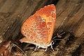 Harvester - Feniseca tarquinius, Julie Metz Wetlands, Woodbridge, Virginia (35447188883).jpg