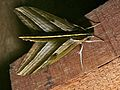 Hawkmoth (Elibia dolichus) (6708089881).jpg