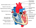 Heart diagram-en.svg