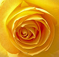 Heart of a Rose (2499250750).jpg