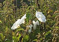Hedge Bindweed amongst nettles - geograph.org.uk - 899114.jpg