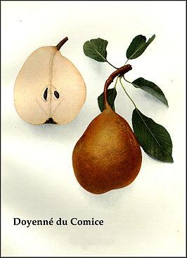 """Vrucht, """"Doyenne du Comice"""""""