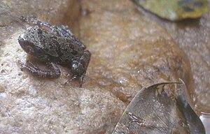 Ghost frog - Eastern ghost frog (Heleophryne orientalis)