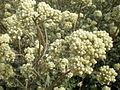 Helichrysum petiolare 3c.JPG