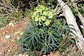 Helleborus foetidus (24851892731).jpg