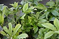 Helleborus x hybridus 0zz.jpg