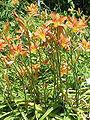 Hemerocallis fulva1.jpg