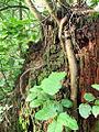 Hemlock root (4063595340).jpg