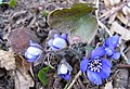 Hepatica nobilis Mill. 3.jpg
