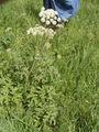 Heracleum sphondylium plant.jpg