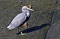 Heron in Humpbybong Creek-3and (3718062559).jpg