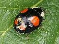 Hesperomyces virescens 67573239.jpg