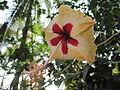 Hibiscus from Kerala, India 06.JPG