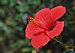 Hibiscus qtl1.jpg