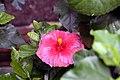 Hibiscus rosa-sinensis Night Fire 4zz.jpg