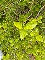 Hibiscus rosa-sinensis by Prahlad balaji 1.jpg