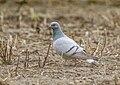 Hill Pigeon (Columba rupestris) (33957687328).jpg
