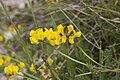 Hippocrepis comosa chezy-sur-marne 02 12052007 1.jpg