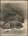 Hippopotamus amphibius - 1872 - Print - Iconographia Zoologica - Special Collections University of Amsterdam - UBA01 IZ21900060.tif