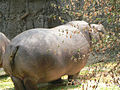 Hippopotamus amphibius mexico.jpg