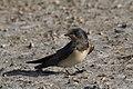 Hirundo rustica - Barn Swallow 07.jpg