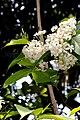 Holarrhena pubescens - കുടകപ്പാല . (33051164444).jpg