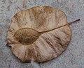 Holoptelea integrifolia seeds.jpg