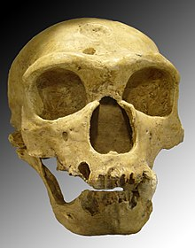 Cranio di Homo Neanderthalensis