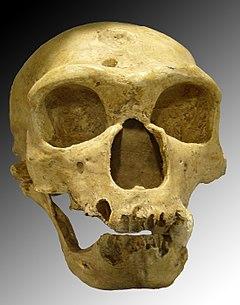 Crani d'un home de Neandertal (La Chapelle-aux-Saints)