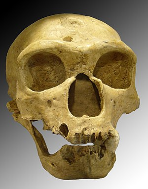 Homo neanderthalensis. Skull discovered in 190...