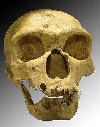 English: Homo neanderthalensis. Skull discover...