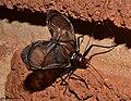 Homoeogryllus orientalis Nicolette Josling Kalkfontein Dam Nature Reserve 2.jpg