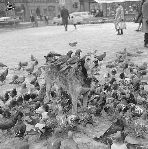 Hond te midden van de duiven op de Dam in Amsterdam ook op zijn rug zit een dui, Bestanddeelnr 918-5034