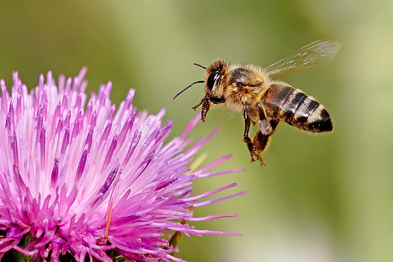Honeybee (Apis mellifera) landing on a milk thistle flower (Silybum marianum).