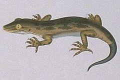240px hoplodactylus pomarii