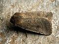 Hoplodrina sp. (41403911561).jpg