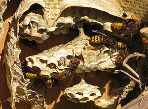 Detail hornets' nest opened up and being rebui...