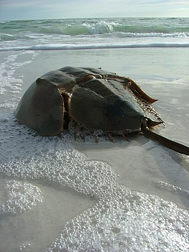 Horseshoe Crab.jpg