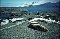 Horseshoe I 'The Isthmus' Weddell seals.jpg