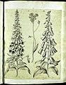 Hortus Eystettensis, Vorzeichnungen (MS 2370 2952643) -Aestiva,1,2.jpg