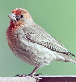 American rosefinch genus of birds