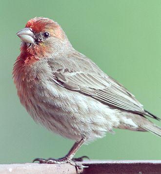 American rosefinch - House finch (Haemorhous mexicanus)